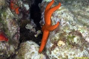 Paracentrotus lividus i Echinaster sepositus
