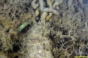 Holothuria tubulosa i deposicions