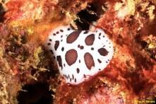 Peltodoris atromaculata