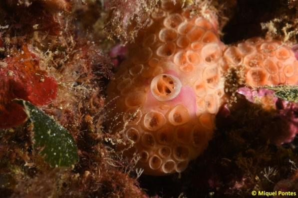 Hemimycale columella