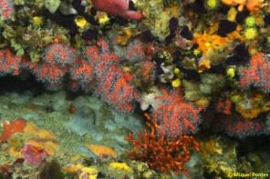 Corallium rubrum i Myriapora truncata