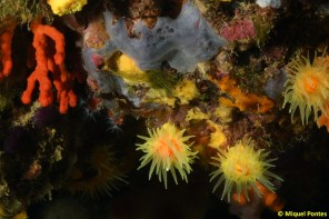 Leptopsammia pruvoti y Corallium rubrum by Miquel Pontes