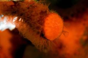 Coral falso (Myriapora truncata) por Miquel Pontes