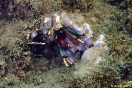 Calcinus tubularis