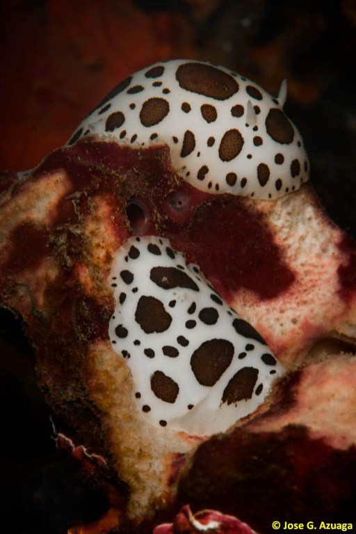 Peltodoris atromaculata sobre Petrosia ficiformis por Jose G. Azuaga