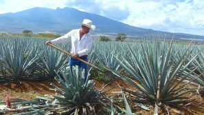 Trimming the blue agave
