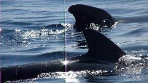 cetáceos del estrecho de Gibraltar