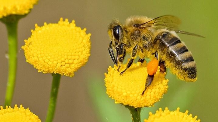 Hasil gambar untuk lebah madu hd