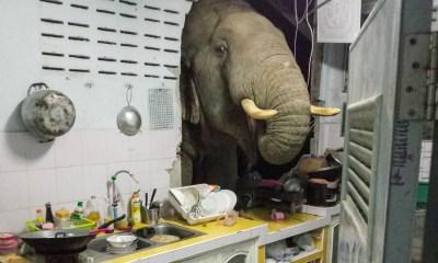 Penyusup Dapur Larut Malam Ternyata Menjadi Gajah Lapar