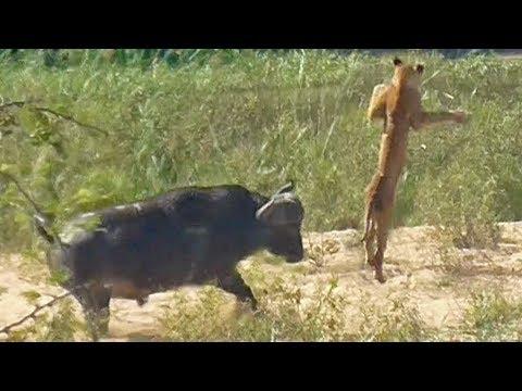 جاموس ينقذ سحلية من بين أنياب الأسود (فيديو)