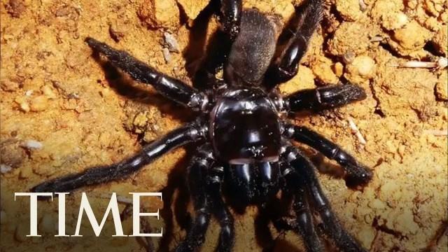 نفوق أكبر عنكبوت في العالم عن عُمر 43 عامًا: مات نتيجة لسعة دبور