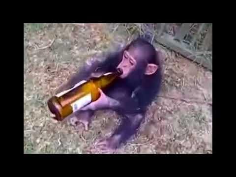 قرد يظهر غضبًا بعد حرمانه من إكمال زجاجة بيرة