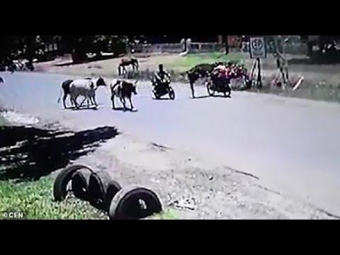 """فيديو طريف.. حكاية البقرة التي تلعب """"الكونغ فو"""""""