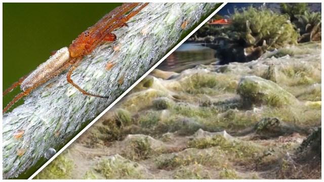 خيوط العنكبوت تغطي جزيرة بالكامل: منظر مرعب
