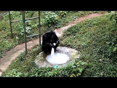 شمبانزي يغسل ملابس حارسه في حديقة حيوان بالصين