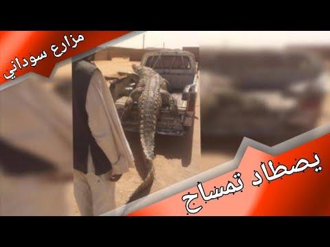 مزارع سوداني يصطاد تمساحًا عملاقًا التهم شخصَيْن