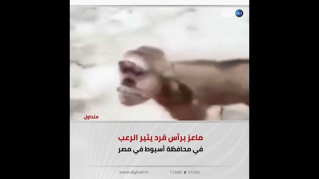 ماعز برأس قرد تثير الرعب في مصر