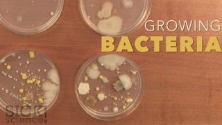 Growing Bacteria – Sick Science! #210