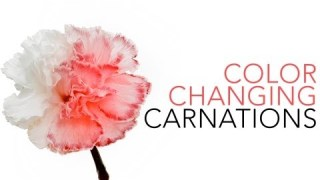 Color Changing Carnations – Sick Science! #020