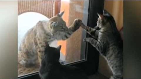 Housecat and Bobcat