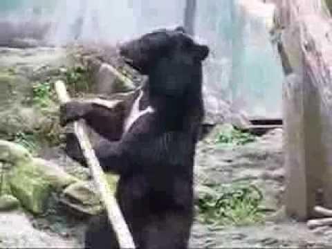 Japanese Zoo: this Bear is the Real Kung Fu Panda