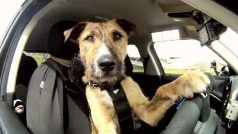 Meet Porter. The World's First Driving Dog
