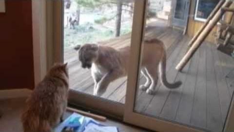 Pet Cat vs Mountain Lion