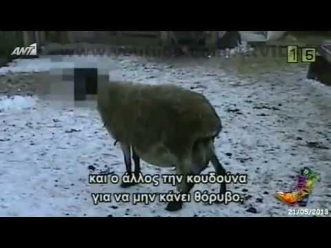 ΡΑΔΙΟ ΑΡΒΥΛΑ – 109 αρνιά αναζητούν…ιδιοκτήτες  / 21-05-2013