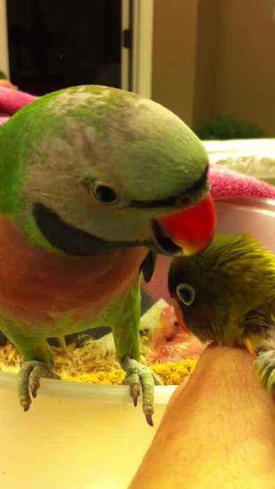 News Video Parakeet Says I Love You Baby