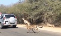 UNBELIEVABLE: Antelope Jumps Into SUV to Avoid Cheetah