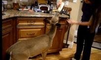 Lady Lets a Wild Deer Into Her Home, Proceeds to Feed it a Bottle!