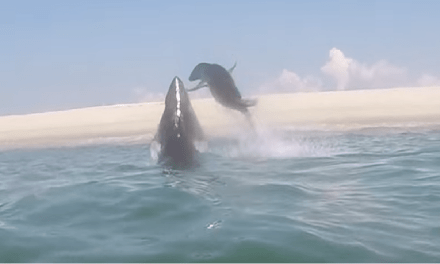 Seal Escapes The Jaws Of A Great White Shark