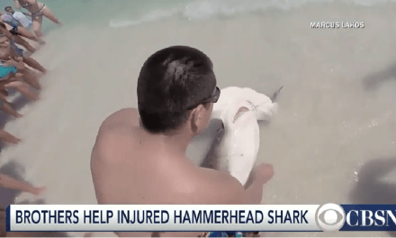 Two Brothers Help Hammerhead Shark In Distress