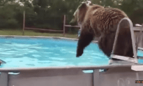 Grizzly Bear Belly Flops In Swimming In Pool