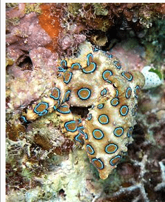 How Deadly Is The Blue-Ringed Octopus?