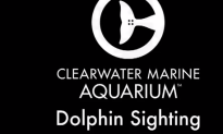 Injured Dolphin Swims In Clearwater, Florida