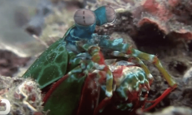 This Peacock Mantis Shrimp Can Really Pack A Punch