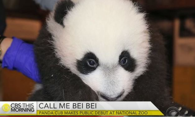Bei Bei Panda Cub makes Public Debut At National Zoo