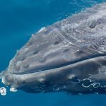 Get Wise: How Did Whales Get So Big?