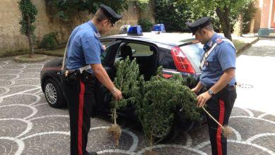 Photo of Pomigliano – Allestisce una serra in casa per la coltivazione di cannabis, arrestato
