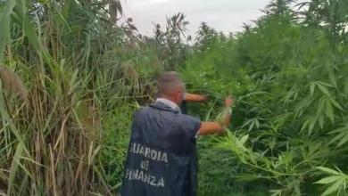 Photo of Nola – Piantagione di marijuana sequestrata a Polvica