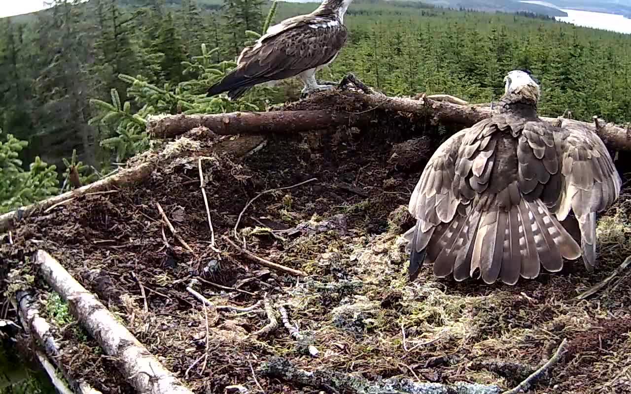 13 April Nest 1 unringed intruder