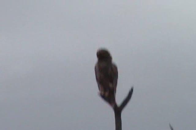 Bird of Prey Eagle family