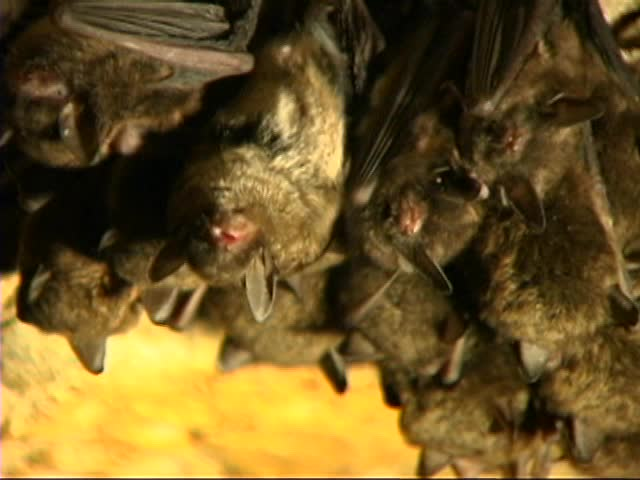 Bats hanging in cave 4×3