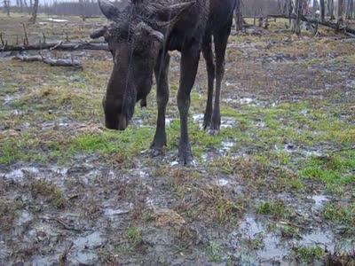 moose-ette