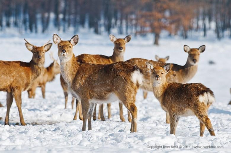 Deer farm in Iza village (photo by Ivan Kmit)