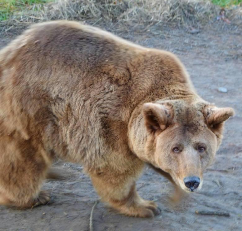 Оля - слепая жительница житомирского приюта, бывшая цирковая медведица (Фото приюта «Белая скала»)