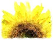 happiness sun flower