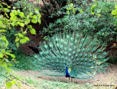 Ravi Peacock feeding my soul