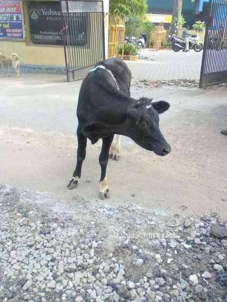 vidya sury cow happiness